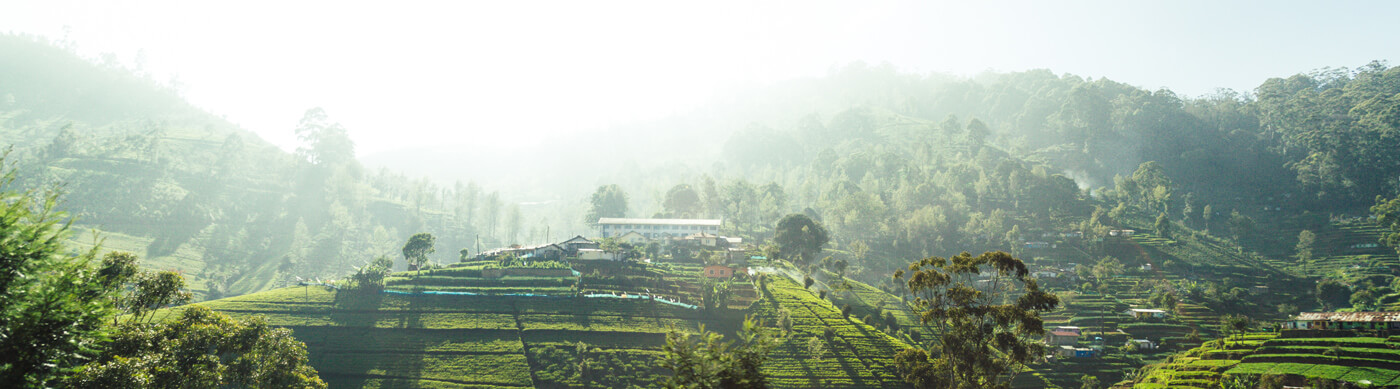 Cuurate Tea Plantation